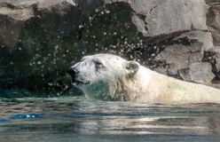 Splashing polar bear Royalty Free Stock Photography