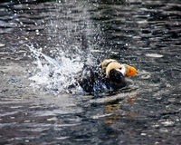 Splashing Puffin Royalty Free Stock Image