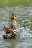 Splashing. Yellow-billed duck rolling in water Stock Images