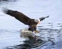 Splashinig di Eagle calvo nell'acqua della baia di Katchemak immagini stock libere da diritti
