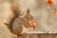 Splashy present. Close up of red squirrel on wood with peanut, brier and drops Royalty Free Stock Images
