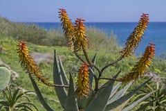 Splebdor dei cactus in Liguria Immagine Stock Libera da Diritti