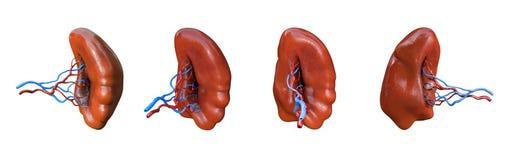 Free Spleen Anatomy Set, Human Anatomy, Organ On White Background Royalty Free Stock Photo - 182750465