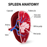 Spleen. Cross section. Illustration showing the trabecular tissue and the splenic vein and its tributaries. Human anatomy stock illustration