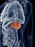 The spleen Stock Image