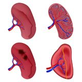 Spleen milt anatomy icons set, realistic style Royalty Free Stock Images
