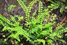 Spleenwort de Maidenhair (trichomanes do Asplenium) imagem de stock