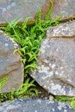 Spleenwort between rock wall. Adaptation of the little fern Spleenwort (Asplenium trichomanes) between a granite rock wall Stock Photos