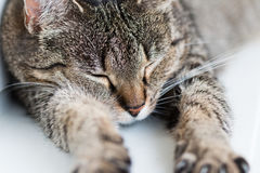 Spleeping, chat étiré Image stock