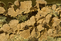 Spleet-kieuw paddestoelen fruiting op dood hout Royalty-vrije Stock Foto