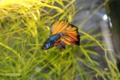 Splendens Betta/сиамские воюя рыбы Стоковые Изображения RF