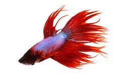 Splendens betta Crowntail рыбы аквариума мужских сиамские воюя Стоковые Изображения RF