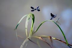 Splendens bonitos de Calopteryx foto de stock
