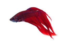 splendens de betta Image stock