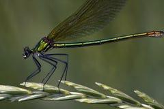 Splendens de Calopteryx/damselfly congregado, hembra imagen de archivo libre de regalías