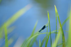 splendens de Calopteryx de la libélula Fotografía de archivo