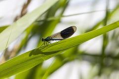 Splendens de Calopteryx, Demoiselle unido, libélula masculina de Baixa Saxónia, Alemanha Imagem de Stock Royalty Free