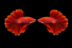 Splendens de combat siamois de poissons ou de betta Images libres de droits