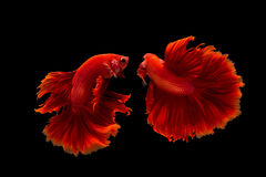 Splendens de combat siamois de poissons ou de betta Photo libre de droits