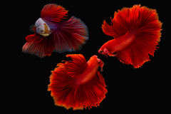 Splendens de combat siamois de poissons ou de betta Photos libres de droits