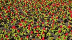 Splendens de Salvia 4K video estoque