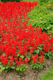 Splendens de Salvia no jardim Imagem de Stock