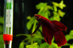 Splendens di Betta Fotografia Stock