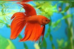 Splendens di Betta dei pesci del Aquarian Immagini Stock Libere da Diritti