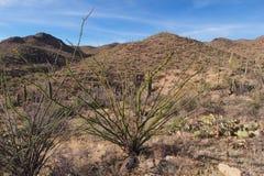 Splendens do Ocotillo, do Fouquieria, e sortido outros cactos no parque nacional de Saguaro foto de stock
