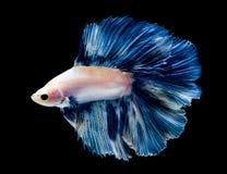 Splendens för betta för fisk för stridighet för Betta fisk som siamese isoleras på svart bakgrund royaltyfria bilder