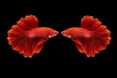 Splendens siameses de los pescados que luchan o del betta Imágenes de archivo libres de regalías