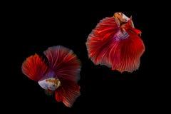 Splendens siameses de los pescados que luchan o del betta Fotos de archivo libres de regalías
