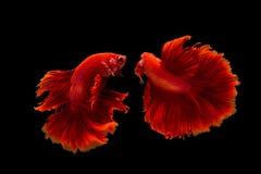 Splendens siameses de los pescados que luchan o del betta Foto de archivo libre de regalías