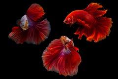 Splendens siameses de los pescados que luchan o del betta Fotografía de archivo libre de regalías