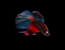 splendens siamois de poissons de combat de betta photo stock