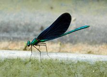Splendens unidos de Calopteryx do demoiselle foto de stock