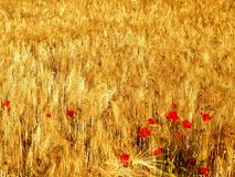 Splendent wheat field with a poppies southern Spain Stock Photo