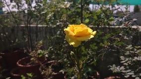 Splendere di Rosa gialla fotografia stock libera da diritti