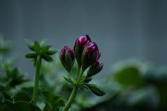 Splendeur Ivy Velvet de pélargonium Image stock