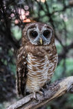 Splendid African Wood Owl or Strix woodfordii. Close encounter with an owl African Wood Owl, Strix woodfordii in Botswana during a fishing trip on the Okavango stock photography