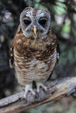 Splendid African Wood Owl or Strix woodfordii. Close encounter with an owl in Botswana during a fishing trip on the Okavango delta. Its actual name is African royalty free stock photography