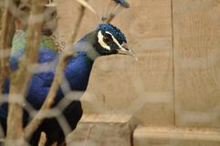 Splendid attentive peacock in a cage Stock Photography
