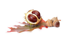 Splendid autumn chestnuts and acorns. Stock Photo