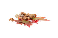 Splendid autumn leaves and acorns on a white. Royalty Free Stock Photography