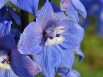 Splendid blue delphinium Stock Photo