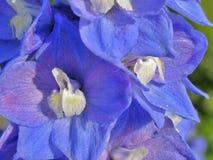 Splendid blue delphinium Stock Image