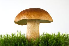 Splendid boletus Stock Photo