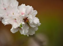 Splendid almond flowers Royalty Free Stock Images