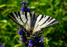 Splendid butterfly Stock Images