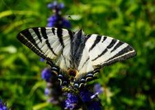 Splendid butterfly. In the forest, enjoying the light Stock Images